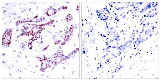 Immunohistochemistry (Formalin/PFA-fixed paraffin-embedded sections) - Anti-STAT1 (phospho Y701) antibody (ab30645)