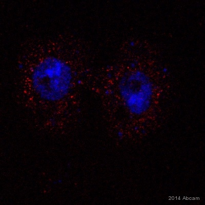 Immunocytochemistry/ Immunofluorescence - Anti-LAMP1 antibody - Drosophila Lysosome Marker (ab30687)