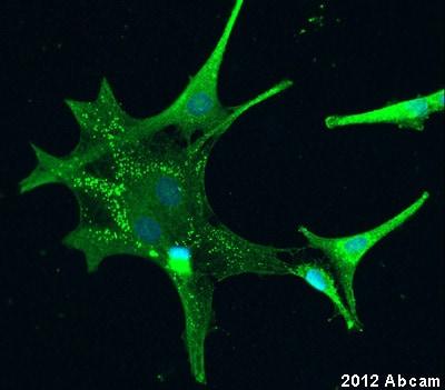 Immunocytochemistry/ Immunofluorescence - Anti-Hepcidin-25 antibody (ab30760)