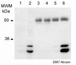 Immunoprecipitation - Anti-PHD3 antibody (ab30782)