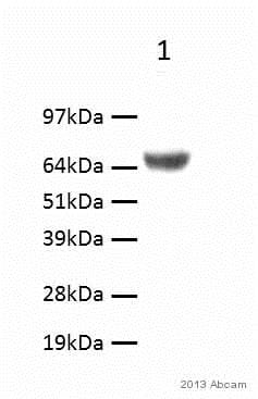 Western blot - Anti-Lgi1/EPT antibody (ab30868)