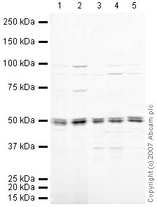 Western blot - Anti-eRF1 antibody (ab30928)