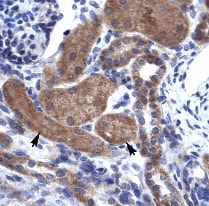 Immunohistochemistry (Formalin/PFA-fixed paraffin-embedded sections) - Anti-ZNFN1A2 antibody (ab30971)