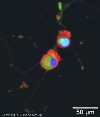 Immunocytochemistry/ Immunofluorescence - Anti-FOXO3A (phospho S253) antibody (ab31109)