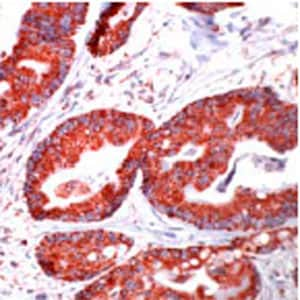 Immunohistochemistry (Formalin/PFA-fixed paraffin-embedded sections) - Anti-Hsp60 antibody (ab31115)