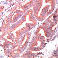 Immunohistochemistry (Formalin/PFA-fixed paraffin-embedded sections) - Anti-Grp75 antibody, prediluted (ab31162)