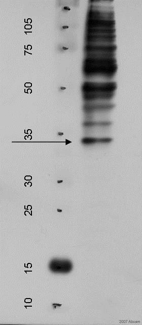Western blot - Rabbit Anti-Chicken IgY H&L (ab31170)