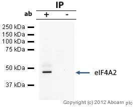 Immunoprecipitation - Anti-eIF4A2 antibody (ab31218)
