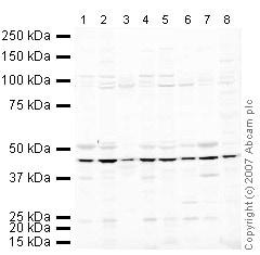 Western blot - Anti-eIF4A2 antibody (ab31218)