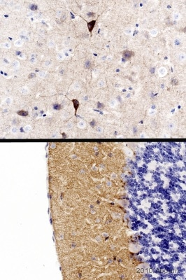 Immunohistochemistry (Formalin/PFA-fixed paraffin-embedded sections) - Anti-Glutamate Receptor 1 (AMPA subtype) antibody (ab31232)