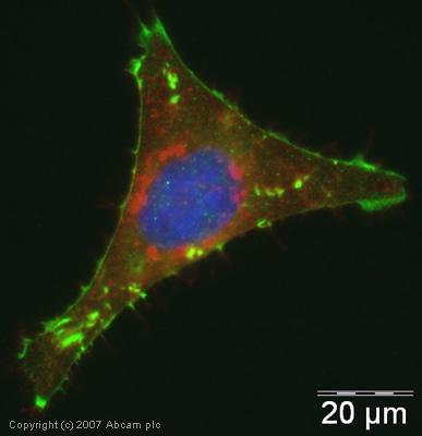 Immunocytochemistry/ Immunofluorescence - Anti-CDAN1 antibody (ab31236)