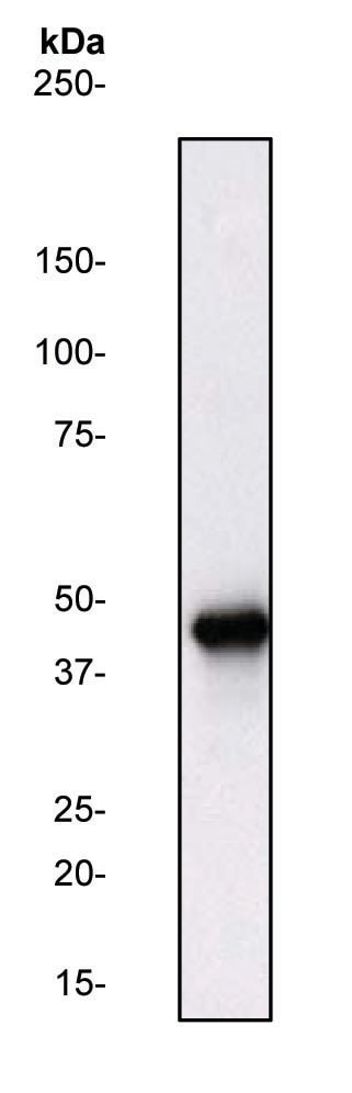 Western blot - Anti-ERK1 antibody (ab31284)