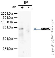 Immunoprecipitation - Anti-MAVS antibody - ChIP Grade (ab31334)