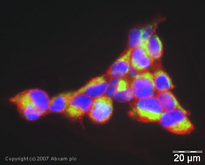 Immunocytochemistry/ Immunofluorescence - Anti-MAVS antibody - ChIP Grade (ab31334)