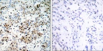 Immunohistochemistry (Formalin/PFA-fixed paraffin-embedded sections) - Anti-CREB antibody (ab31387)