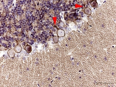 Immunohistochemistry (Formalin/PFA-fixed paraffin-embedded sections) - Anti-Neurofascin antibody (ab31457)