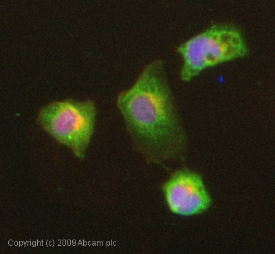 Immunocytochemistry/ Immunofluorescence - Anti-Isoleucyl tRNA synthetase antibody (ab31533)