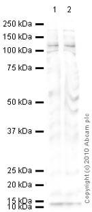 Western blot - Anti-GM130 antibody - cis-Golgi Marker (ab31561)