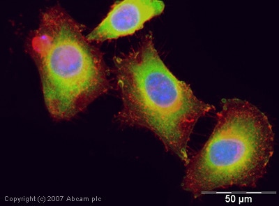 Immunocytochemistry/ Immunofluorescence - Anti-Galectin 3 antibody (ab31707)