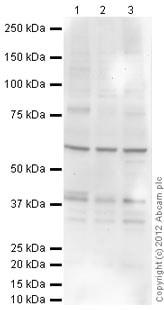 Western blot - Anti-Rad51 (phospho T309) antibody (ab31769)