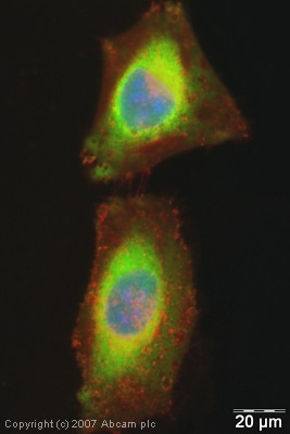 Immunocytochemistry/ Immunofluorescence - Anti-eRF1 antibody (ab31799)