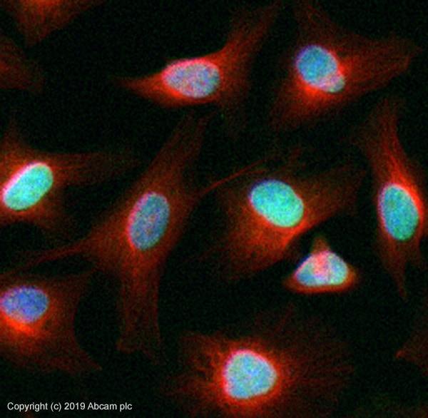 Immunocytochemistry/ Immunofluorescence - Anti-Histone H4 antibody [mAbcam 31830] - ChIP Grade (ab31830)