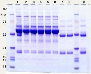 Anti-IgG Affibody® Molecule (ab31900)