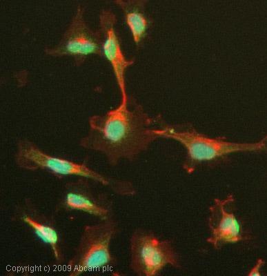 Immunocytochemistry/ Immunofluorescence - Anti-Menin antibody - ChIP Grade (ab31902)