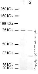 Western blot - Anti-Menin antibody - ChIP Grade (ab31902)