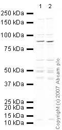 Western blot - Anti-DDX1 antibody (ab31963)
