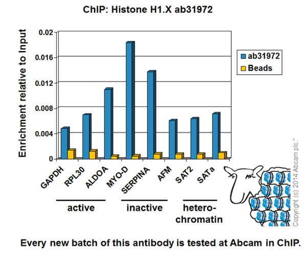 ChIP - Anti-Histone H1x antibody - ChIP Grade (ab31972)