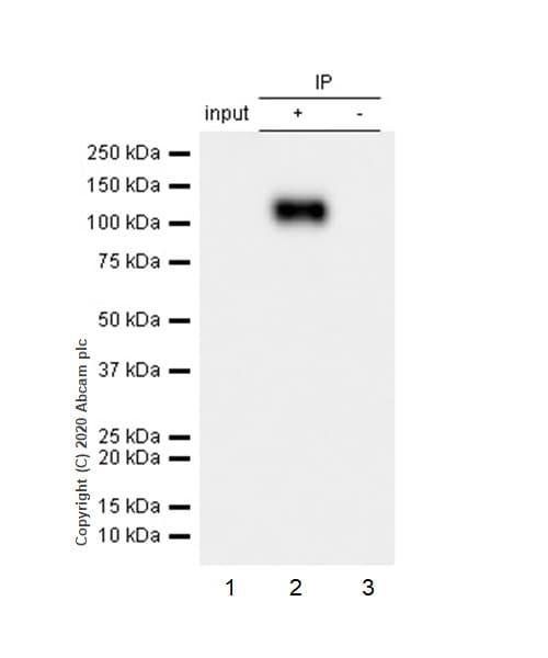 Immunoprecipitation - Anti-Rb (phospho T821) antibody [E231] (ab32015)