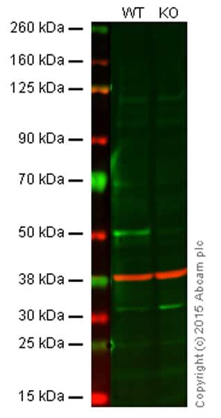 Western blot - Anti-Caspase-2 antibody [Y154] (ab32021)