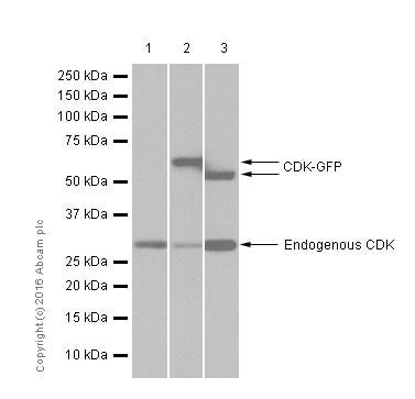 Western blot - Anti-CDK1 + CDK2 + CDK3 + CDK5 antibody [E53] (ab32030)
