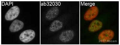 Immunocytochemistry/ Immunofluorescence - Anti-CDK1 + Cdk2 + Cdk3 + Cdk5 antibody [E53] (ab32030)