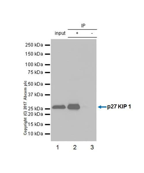 Immunoprecipitation - Anti-p27 KIP 1 antibody [Y236] (ab32034)