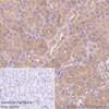 Immunohistochemistry (Formalin/PFA-fixed paraffin-embedded sections) - Anti-IKK alpha antibody [Y463] (ab32041)