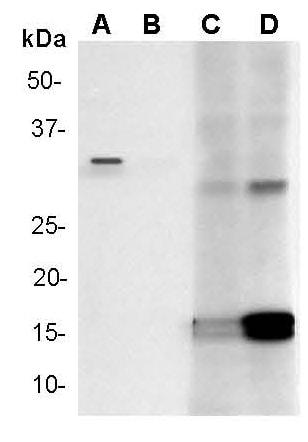 Western blot - Anti-Cleaved Caspase-3 antibody [E83-77] (ab32042)