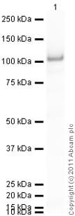 Western blot - Anti-STAT5a antibody [E289] (ab32043)