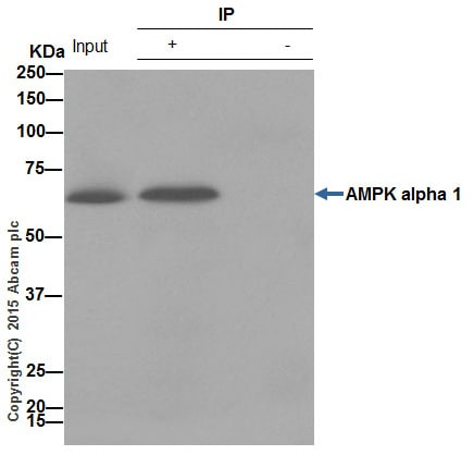 Immunoprecipitation - Anti-AMPK alpha 1 antibody [Y365] (ab32047)