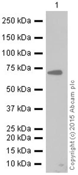 Western blot - Anti-PKR antibody [YE350] (ab32052)