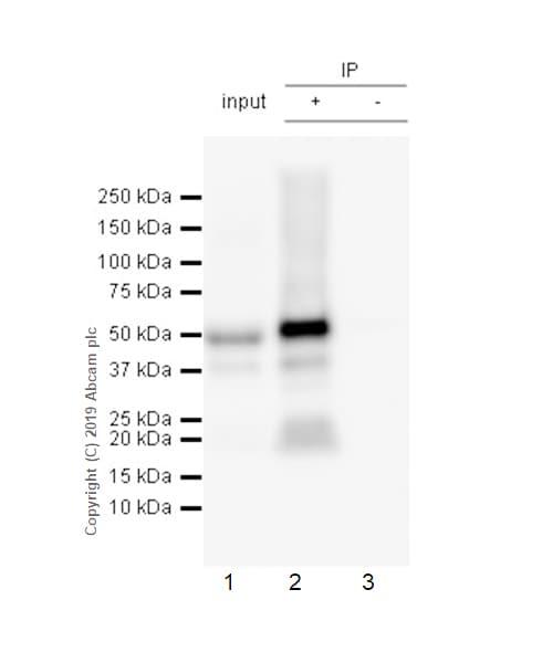 Immunoprecipitation - Anti-Tau (phospho S396) antibody [E178] (ab32057)