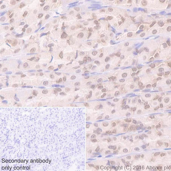 Immunohistochemistry (Formalin/PFA-fixed paraffin-embedded sections) - Anti-Sumo 1 antibody [Y299] (ab32058)