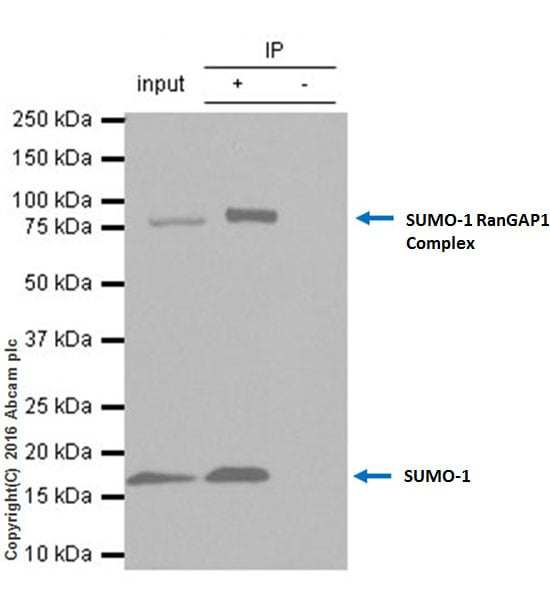 Immunoprecipitation - Anti-Sumo 1 antibody [Y299] (ab32058)