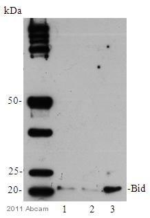 Western blot - Anti-Bid antibody [Y8] (ab32060)