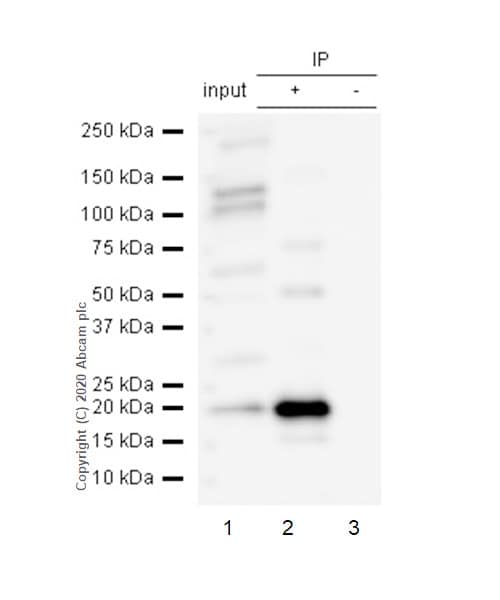 Immunoprecipitation - Anti-Bid antibody [Y8] (ab32060)