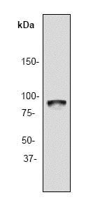 Western blot - Anti-Rsk 2 / MAPKAP Kinase 1b antibody [Y82] (ab32062)