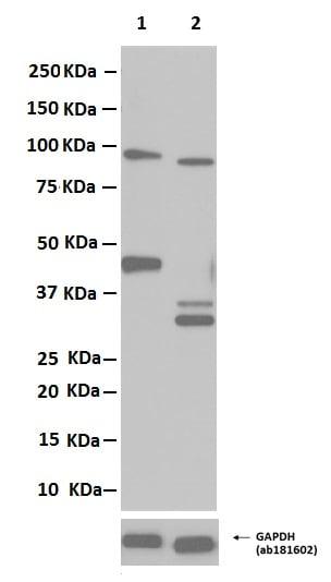 Western blot - Anti-Caspase-9 antibody [E84] (ab32068)