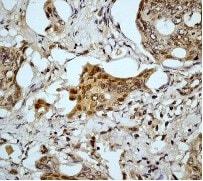 Immunohistochemistry (Formalin/PFA-fixed paraffin-embedded sections) - Anti-Caspase-9 antibody [E84] (ab32068)