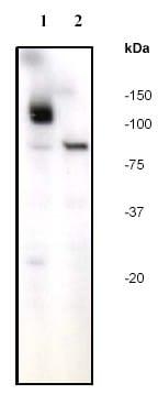 Western blot - Anti-PARP1 antibody [E78] (ab32071)
